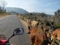 la route et les vaches...